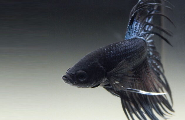 Siamese Fighting Fish edit